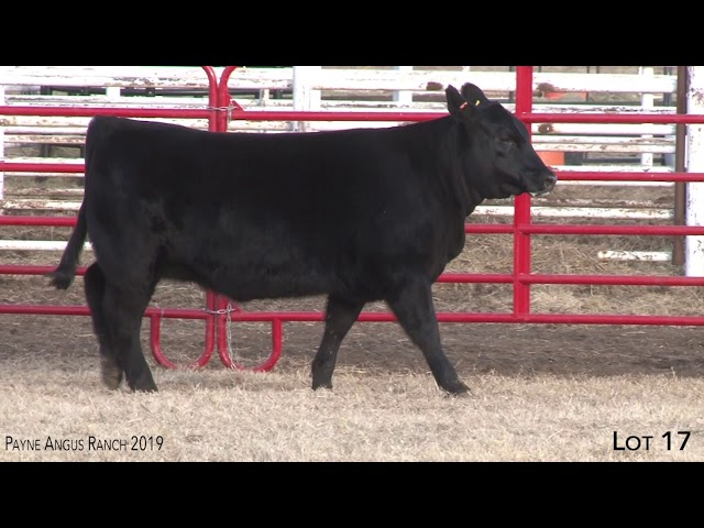 Payne Angus Ranch Lot 17