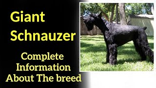 Giant Schnauzer. Pros and Cons, Price, How to choose, Facts, Care, History