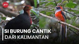 Si Burung Cantik Endemik Pulau Kalimantan
