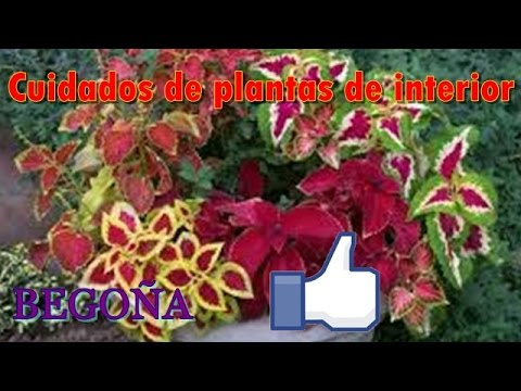 Cuidados de plantas de interior begonia youtube for Cuidado plantas interior