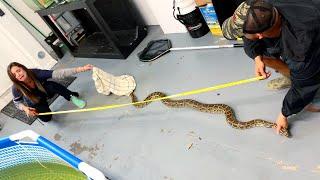 7-foot-wild-snake-found-in-fish-garage-crazy