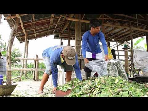 Corn Silage Making in Lupao, Nueva Ecija, Philippines