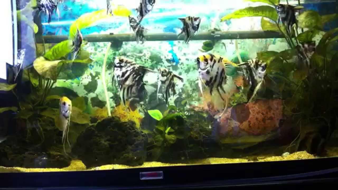 Peces acuario agua dulce escalares alimentaci n youtube for Peces alimentacion