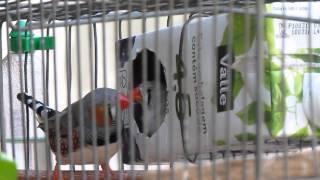 Criação de MANDARIM - Vídeo 3