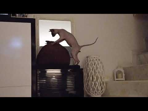 Sphynx Cat 'Rango' is trying to get attention from a girl cat 'Bandita' / DonSphynx /