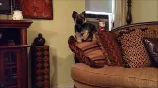 Smartest yorkie ever!! I love my Yorkshire Terrier!