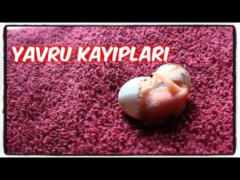 YAVRU ÖLÜMLERİ (YUMURTA İÇİNDE Ve DIŞINDA)!