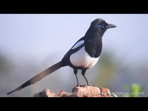 North African Magpie