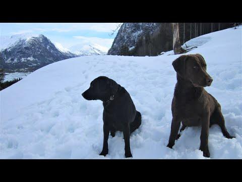 Chesapeake bay retriever Venla and Labrador retriever Stella in Western Norway