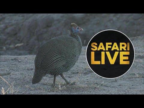 safariLIVE - Sunrise Safari - June 15, 2018