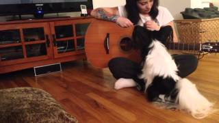 Louie The Papillon Dog Learning To Play Guitar
