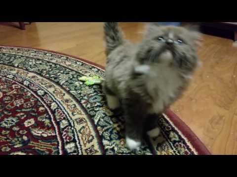 Sable tuxedo male RagaMuffin kitten