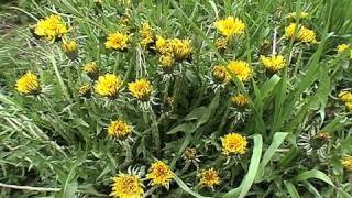 Dandelion Greens Recipe & Foraging : Gardenfork.tv #16