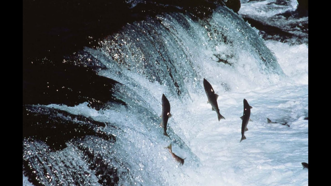 King Falls Am Wallpaper Salmon Run Youtube