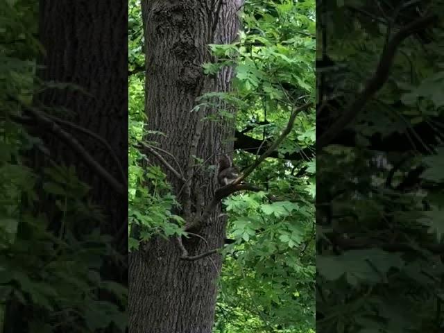 Grey Squirrel Dreaming