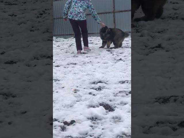 Caucasian Shepherd Dog  Female #1 for sale (3 months) | video 4