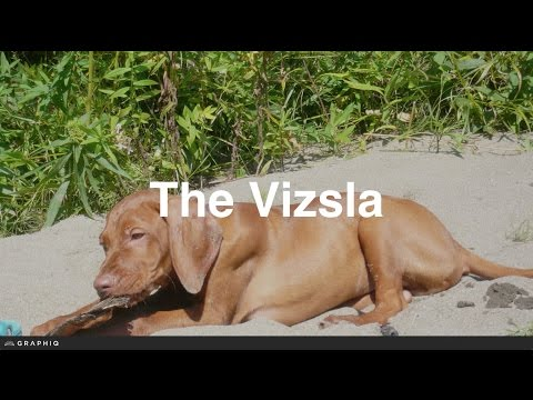 Vizsla - Dog Profile from PetBreeds.com