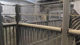 グラントシマウマ (円山動物園) チョビミミ ♀ 2015年3月14日 東武動物公...