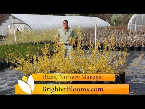 Lynwood Gold Forsythia at Brighter Blooms Nursery