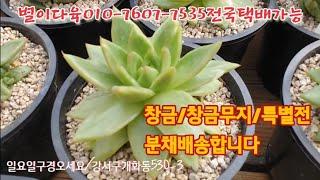 창금/창금무지/특별전/화분채배송  별이다육010-760…