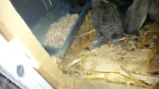 Podawanie paszy królikom i siana