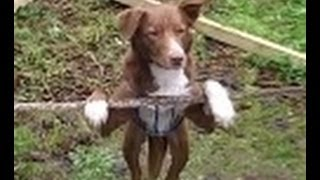 Amazing Acrobatic, Rope balancing Dog