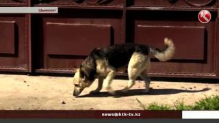 В Шымкенте собака растерзала пенсионерку