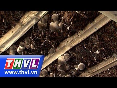THVL l Khoa học nông nghiệp: Kỹ thuật trồng nấm rơm cải tiến và nấm rơm trong nhà (09/11/2015)