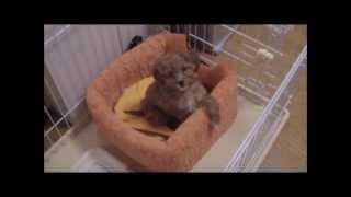 ミックス子犬 ダップー①  Puppy Of The Mixed Breed Dog  (poodle × Dachshund)