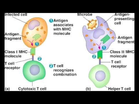 MHC 1 - Major Histocompatibility Complex I