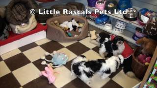 Little Rascals Uk Breeders New Litter Of Malshi's