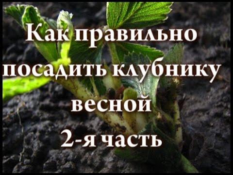 Как правильно посадить клубнику весной 2 я часть
