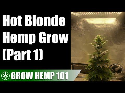 Indoor Hot Blonde Medicinal Hemp Timelapse Grow