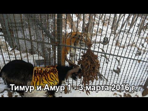 Тимур и Амур 1 - 3 марта 2016 г.