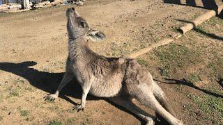 Kangaroo vs Dog Fight [FULL Attack] REACTION