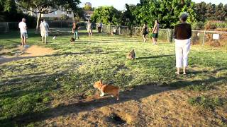 Ventus The Corgi - More Dog Park Fun!