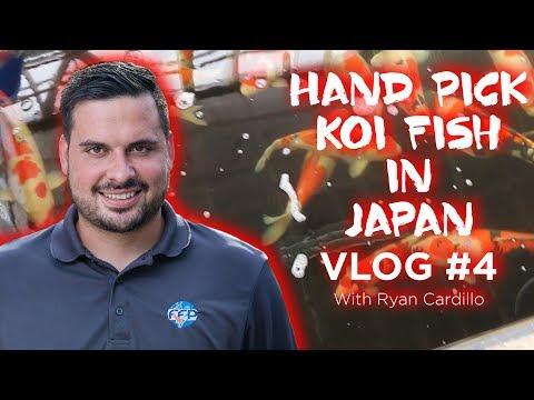 Koi Fish Farms in Japan! Where to buy Koi in Japan