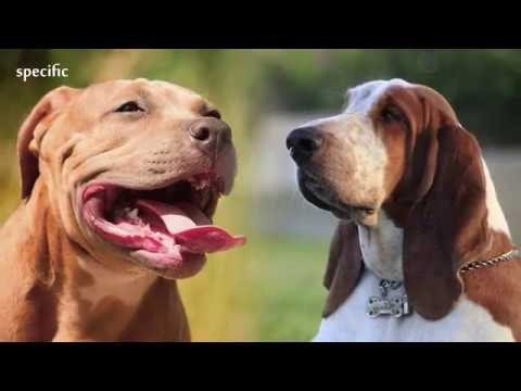 Details about Basset hound Specific information about animals  Animal wikipedia series animals