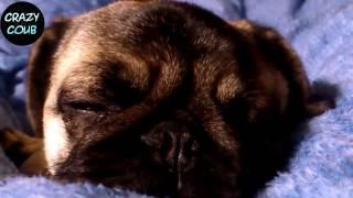 ЛУЧШИЕ ПРИКОЛЫ ПРО МОПСОВ #1 (ЛУЧШИЕ СОБАКИ) Funny Dogs only Pug Videos  Pug Compilation Нарезкин TV