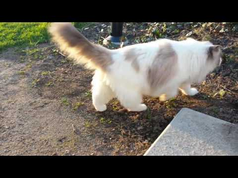 Taking A Walk with my Cat Ragdoll