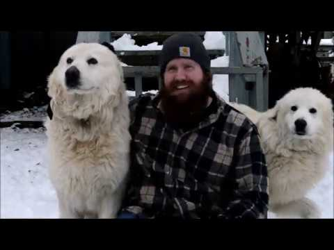 Maremma introduction to family dogs.