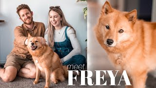 WE ADOPTED A DOG  Q&A with our beautiful rehome, Freya the Finnish Spitz!