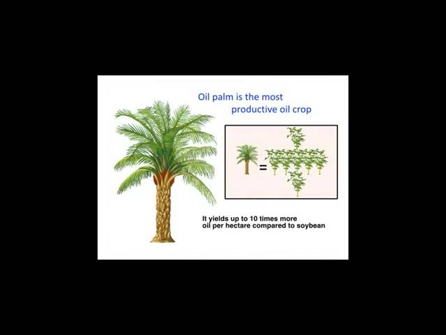 Oil Palm Tree: One Plant Stands Tall