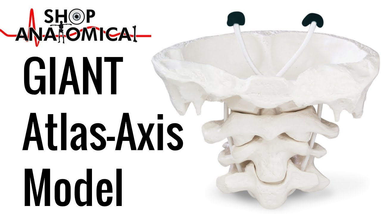 Giant Atlas Axis Anatomy Model C1 C2 Cervical Vertebrae Educational