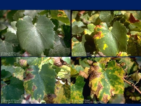 Dealing with the Resurgence of Pierce's Disease in Vineyards