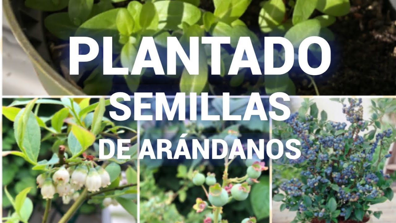 COMO PLANTAR SEMILLAS DE ARÁNDANOS