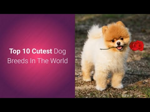 list-of-top-10-most-cutest-dog-breeds-in-the-world-2019-🐕