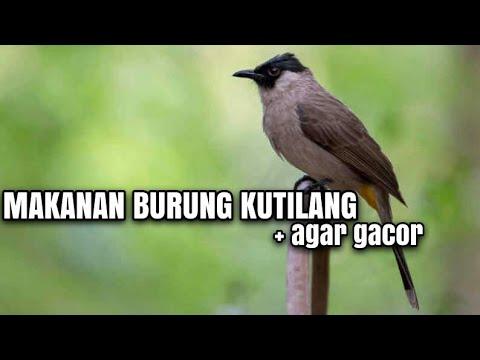 Makanan Kesukaan Burung Kutilang Agar Gacor By Syaiful Rimba69