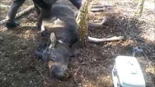 Leśnicy, myśliwi i weterynarz ratują łosia uwięzionego we wnyku.