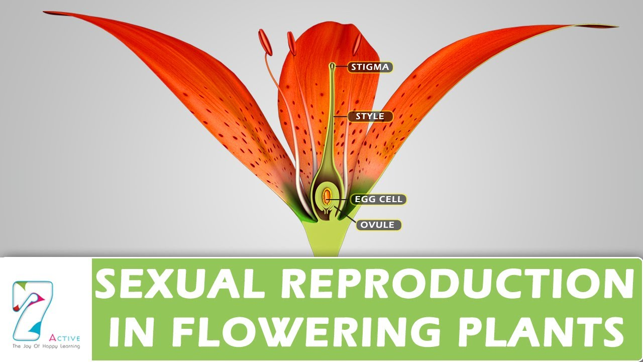 Sexual reproduction in flowering plants occurs within the